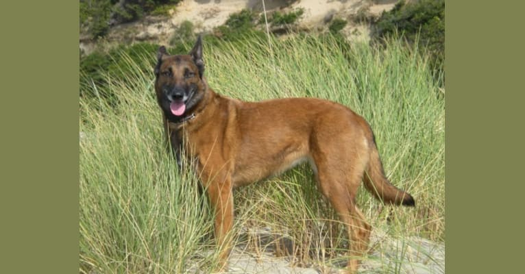 Photo of Tess, a Belgian Shepherd  in Portland, Oregon, USA
