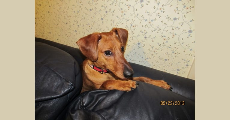 Photo of Buddy, a Miniature Pinscher and Dachshund mix in West Virginia, USA