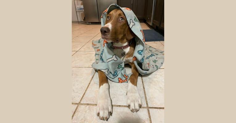 Photo of Viola, an American Pit Bull Terrier, Catahoula Leopard Dog, German Shepherd Dog, Australian Cattle Dog, and Mixed mix in Kalamazoo, Michigan, USA