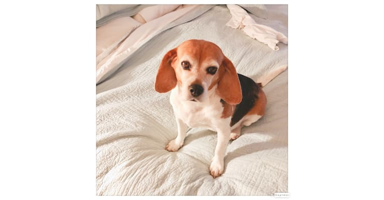 Photo of Lilly, a Beagle mix in Highland, Utah, USA