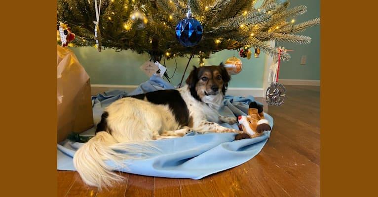 Photo of Sadie Buck, an Australian Cattle Dog, Shih Tzu, Chihuahua, Pekingese, and Mixed mix in Abingdon, Virginia, USA
