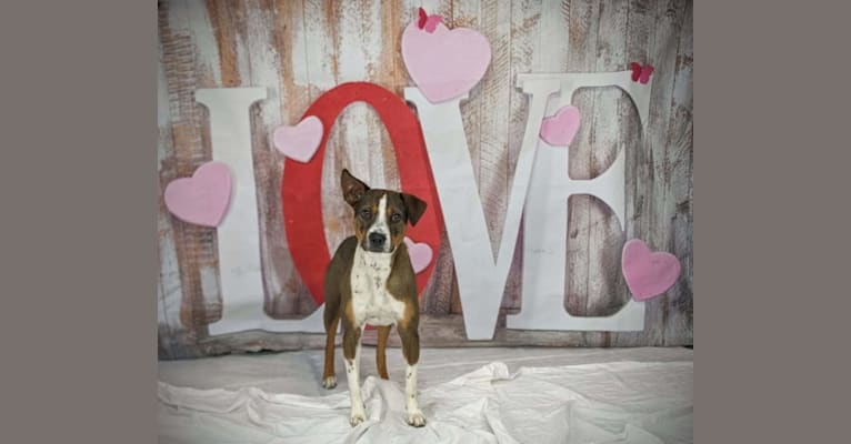 Photo of Pike, an Australian Cattle Dog, Boxer, Border Collie, Rottweiler, Boston Terrier, and Mixed mix in San Antonio, Texas, USA