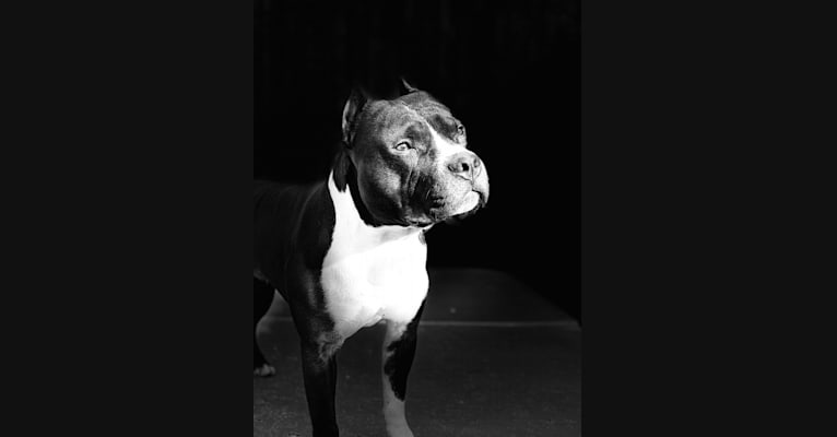 Photo of Horsepower's Run'n on High Octane, an American Staffordshire Terrier  in Dallas, TX, USA