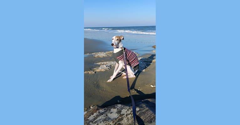 Photo of Dex, an Italian Greyhound  in Wilmington, Delaware, USA