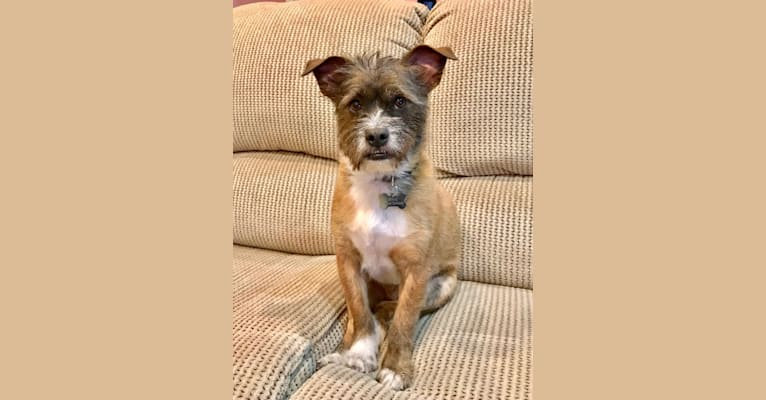 Photo of Ernie, a Bulldog, Shih Tzu, Chihuahua, and Poodle (Small) mix in Los Angeles, California, USA