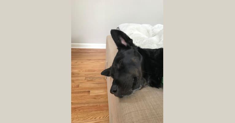 Photo of Raven, an Australian Cattle Dog mix in Ellijay, Georgia, USA