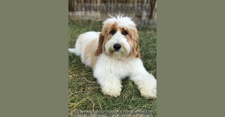 Photo of Miss  Luna of Magic Valley Goldendoodles, a Goldendoodle