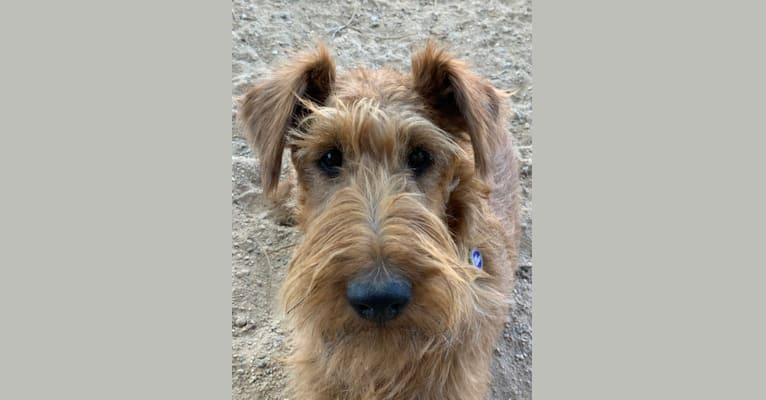 Photo of Limerick, an Irish Terrier  in California, USA