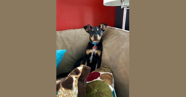Photo of Blitzen, an Australian Cattle Dog, Doberman Pinscher, and Mixed mix in Oklahoma, USA