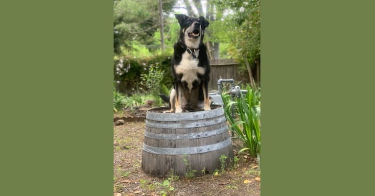 Photo of Franklin, a Border Collie, Australian Cattle Dog, Airedale Terrier, and Australian Shepherd mix in Napa, California, USA
