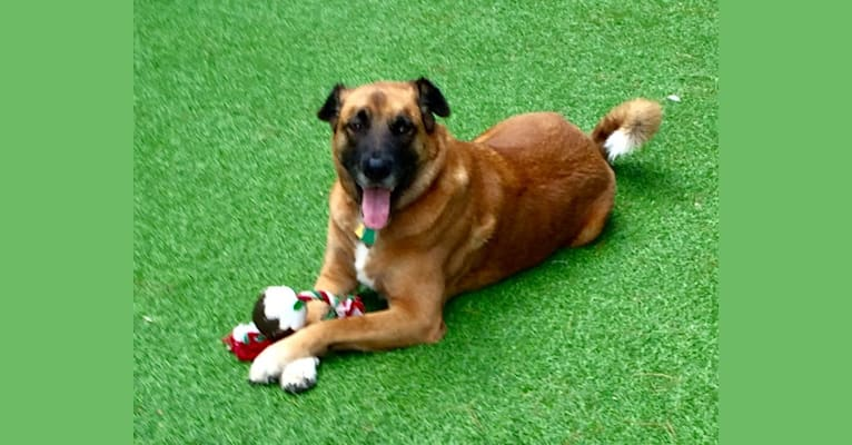 Photo of Taji, an Akita, American Pit Bull Terrier, Golden Retriever, and Rottweiler mix in Las Vegas, Nevada, USA