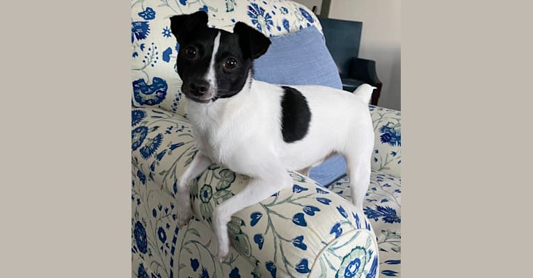 Photo of Winston, a Toy Fox Terrier  in Palm Coast, FL, USA