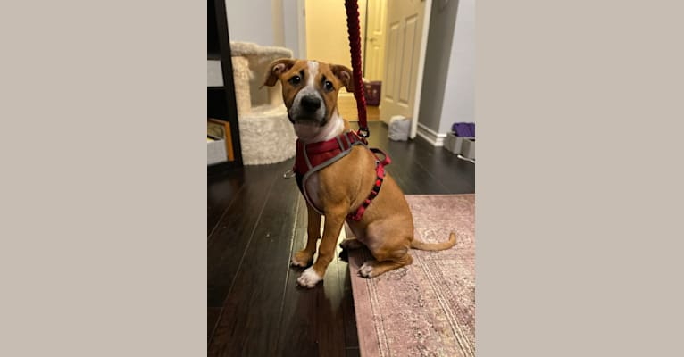 Photo of Pixie Belle, an American Pit Bull Terrier, German Shepherd Dog, Australian Cattle Dog, and Mixed mix in Frisco, Texas, USA