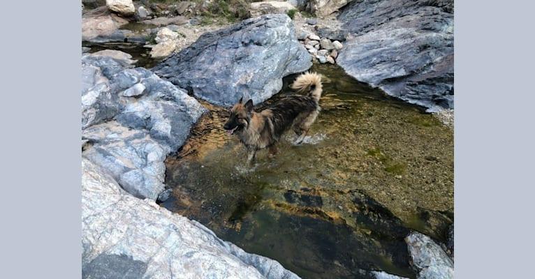 Photo of Gunner, a Belgian Malinois, Siberian Husky, and German Shepherd Dog mix in Arizona, USA
