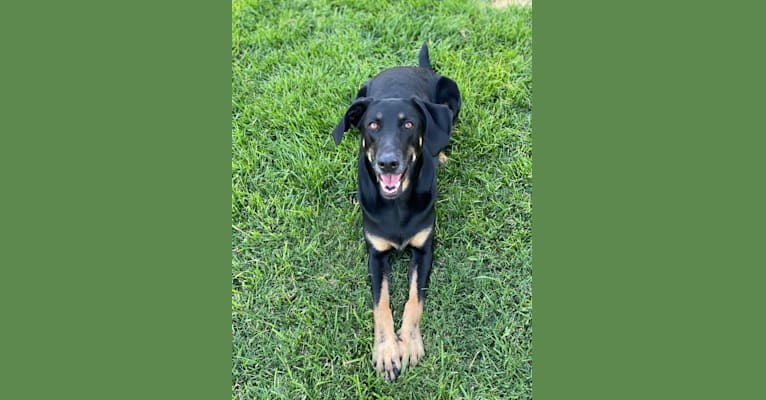 Photo of Penny, a German Shepherd Dog and Weimaraner mix in Edwards AFB, California, USA