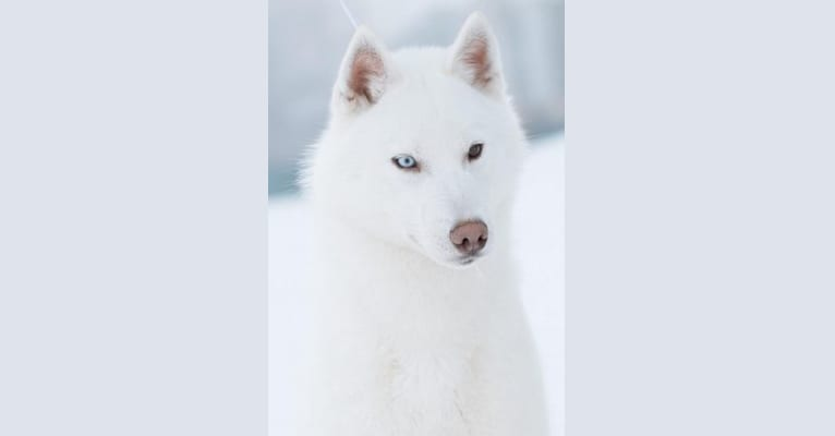 Photo of Onyx, a Siberian Husky  in Bucharest, Romania