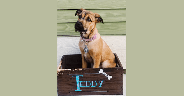 Photo of Teddy, an American Pit Bull Terrier, Labrador Retriever, German Shepherd Dog, Great Pyrenees, and Chow Chow mix in Texas, USA