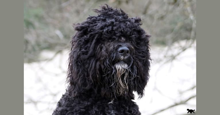 Photo of Watson, a Barbet  in Amersfoort, Netherlands