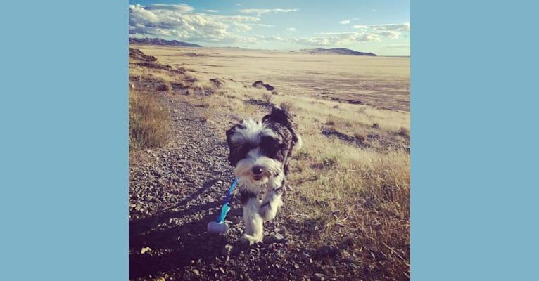 Photo of Charlie, a Tibetan Terrier