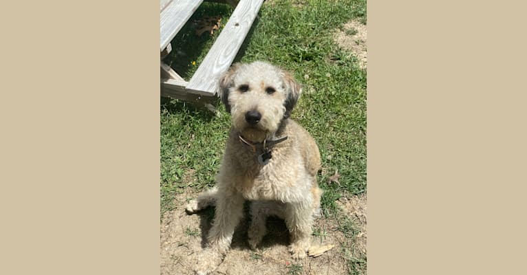 Photo of Molly, a Poodle (Standard), Labrador Retriever, and Golden Retriever mix in Columbia, SC, USA