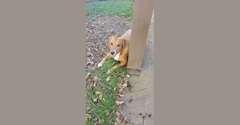 Photo of Rollo, an American Pit Bull Terrier, Labrador Retriever, Collie, Rottweiler, and Great Pyrenees mix in Marietta, Ohio, USA