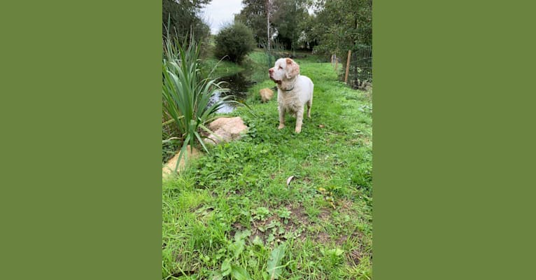 Photo of Nell, a Clumber Spaniel  in Kungsbacka, Sweden