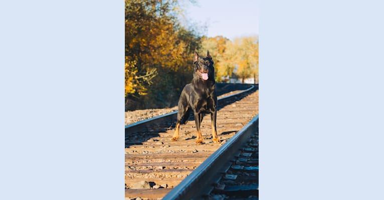 Photo of Marek, a Beauceron  in California, USA