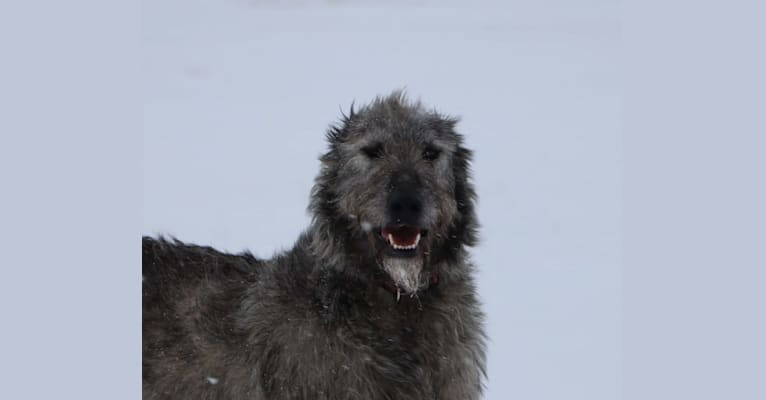 Photo of Luna, an Irish Wolfhound  in Crescent Spur, BC, Canada