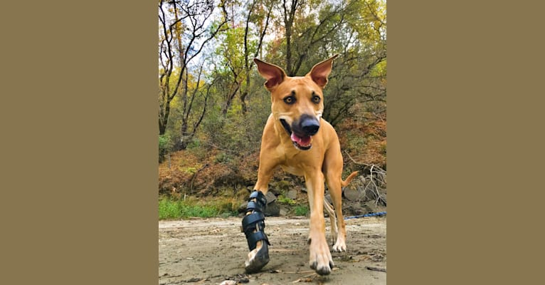 Photo of Cooper, a Catahoula Leopard Dog, Border Collie, American Pit Bull Terrier, and Greyhound mix in Modesto, California, USA