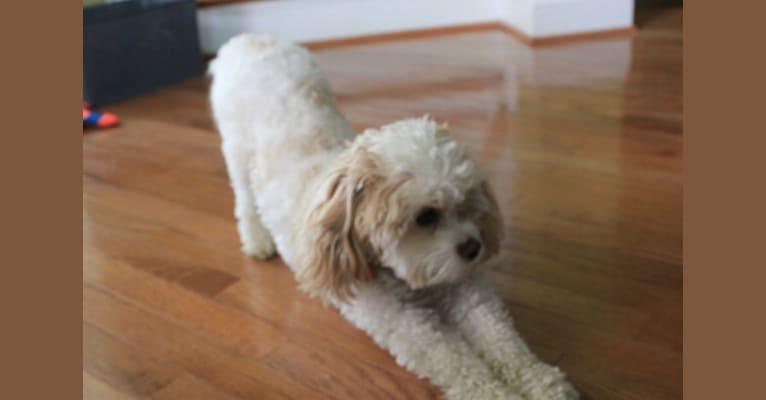 Photo of Percy, a Cavachon  in Ohio, USA