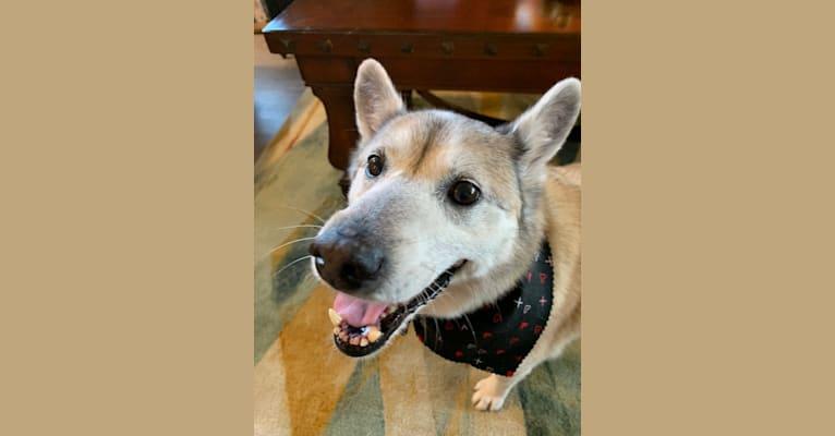 Photo of Bandit, a Formosan Mountain Dog mix in San Antonio, Texas, USA