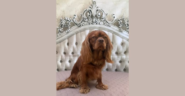 Photo of Rowan, a Cavalier King Charles Spaniel  in Loogootee, IN, USA