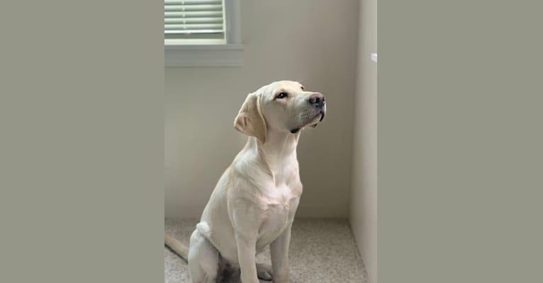 Photo of Lady, a Labrador Retriever  in Oakley, CA, USA