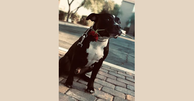Photo of Mickey, an American Bully  in California, USA