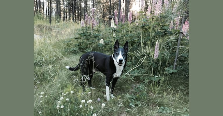 Photo of Flint, a Border Collie, McNab, and Mixed mix in Klamath Falls, Oregon, USA