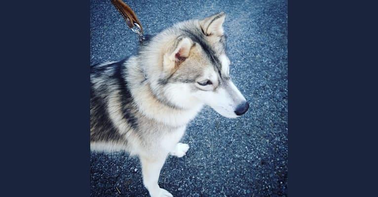 Photo of Misha Kennon, a Siberian Husky