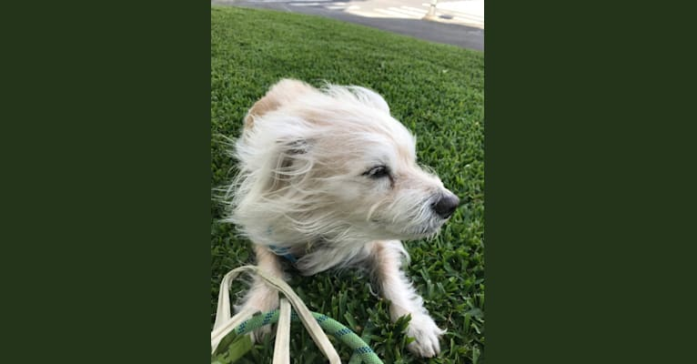 Photo of Bogey, a Chihuahua, Cocker Spaniel, Poodle (Small), Shih Tzu, and Mixed mix in San Diego, California, USA