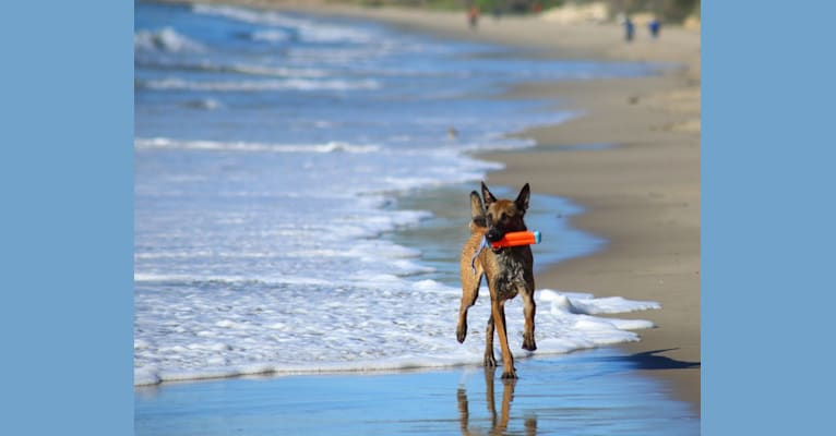 Photo of Loki, a Belgian Shepherd  in Melbourne, Florida, USA