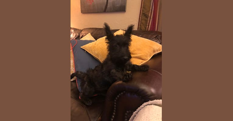 Photo of Tucker, a Scottish Terrier  in Oklahoma City, Oklahoma, USA