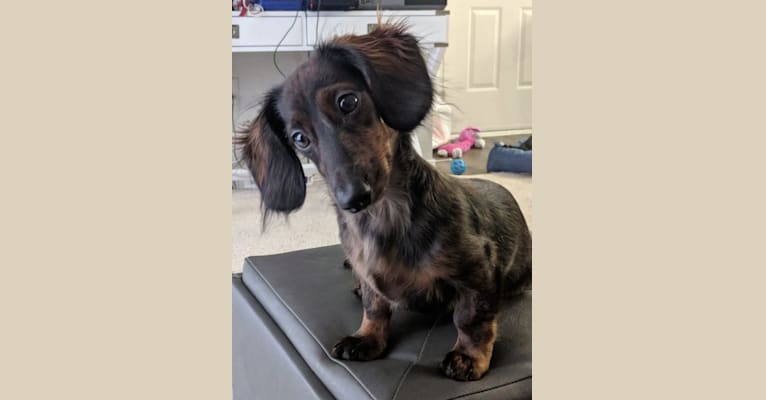 Photo of Liam, a Dachshund  in Bothell, Washington, USA