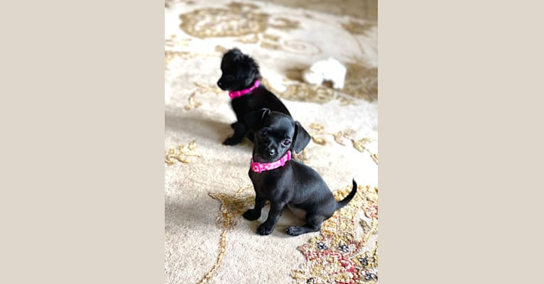 Photo of Milly, a Poodle (Small) and Pekingese mix in Rush Springs, Oklahoma, USA
