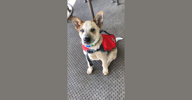Photo of Odie, an Australian Cattle Dog and Border Collie mix in Lawrence, Kansas, USA