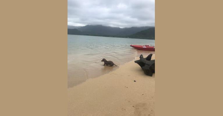 Photo of Nas, a Dachshund  in Wahiawa, Hawaii, USA