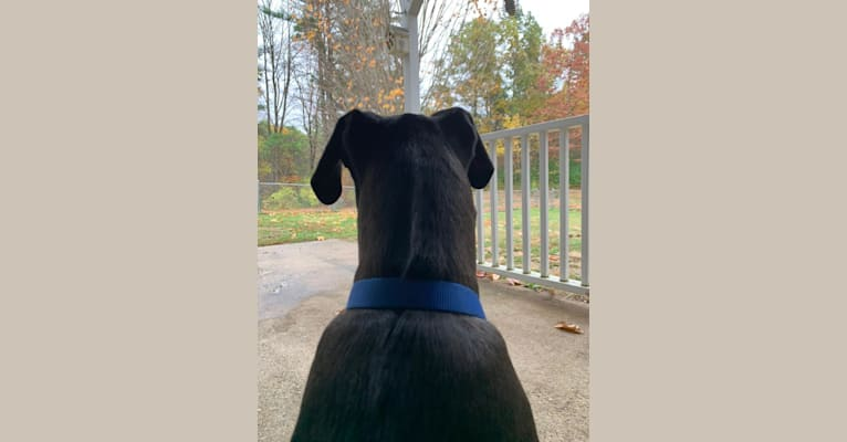 Photo of Buddy, an American Pit Bull Terrier, Great Dane, American Bulldog, and American Staffordshire Terrier mix in Mississippi, USA