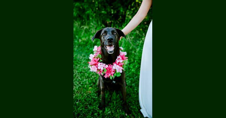 Photo of Rey, a German Shepherd Dog, Dalmatian, Labrador Retriever, and Weimaraner mix in South Carolina, USA