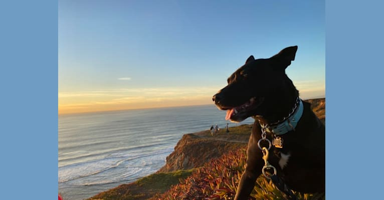 Photo of Nellie, an American Pit Bull Terrier, German Shepherd Dog, American Staffordshire Terrier, and Labrador Retriever mix in Pacifica, California, USA
