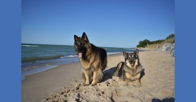 Photo of Sabaka, a Siberian Husky, German Shepherd Dog, and Great Dane mix in Indiana, USA