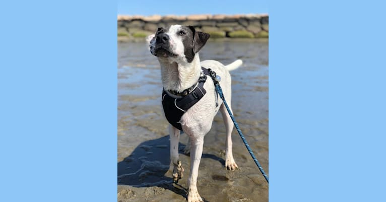 Photo of Archie, an American Pit Bull Terrier, American Bully, Labrador Retriever, Golden Retriever, and Mixed mix in Louisiana, USA