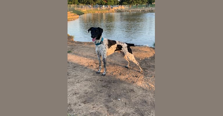 Photo of Huey, a German Shorthaired Pointer and Border Collie mix in Fort Worth, Texas, USA