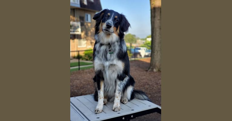 Photo of Wally, a Collie, American Pit Bull Terrier, Beagle, Great Pyrenees, Border Collie, and Mixed mix in Charleston, West Virginia, USA